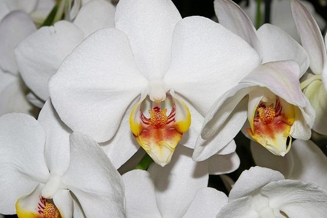orchidea 1